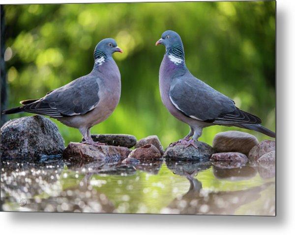 Common Wood Pigeons Meeting At The Waterhole Metal Print