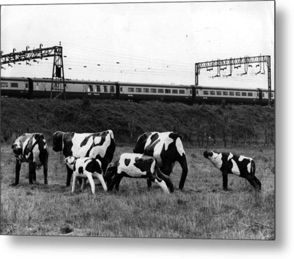 Concrete Cows Metal Print by Ian Tyas