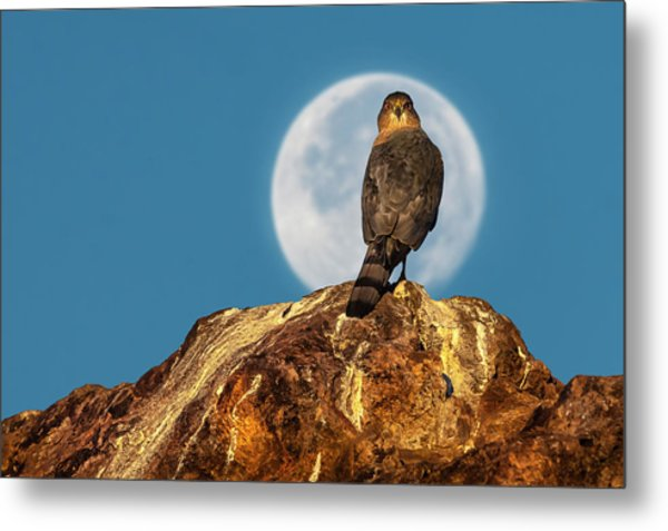 Coopers Hawk With Moon Metal Print