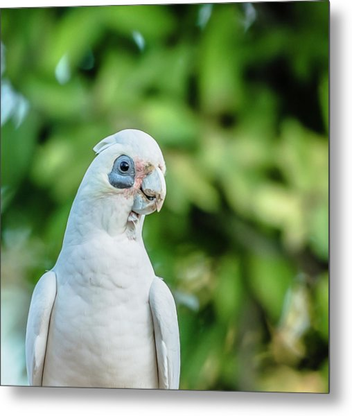 Metal Print featuring the photograph Corellas Outside During The Afternoon. by Rob D