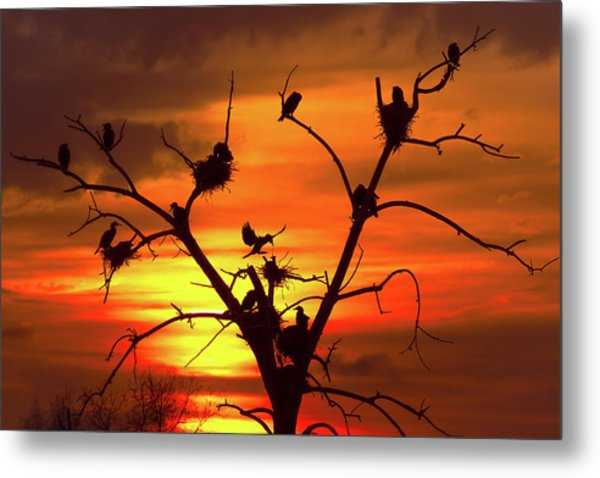 Cormorant Nest Building Time Metal Print