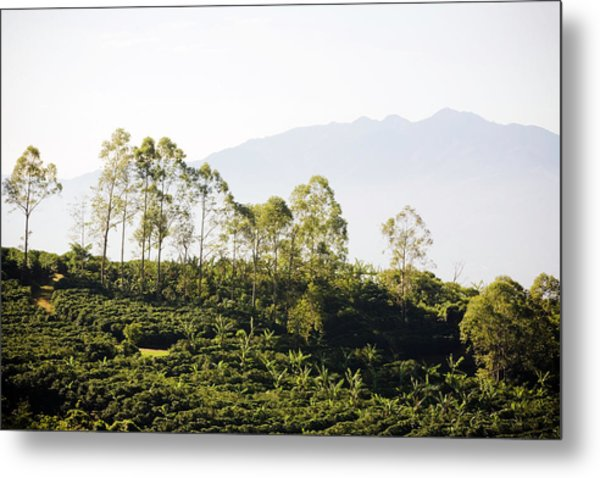 Costa Rica, Alajuela, Coffee Plants At Metal Print by Bob Stefko
