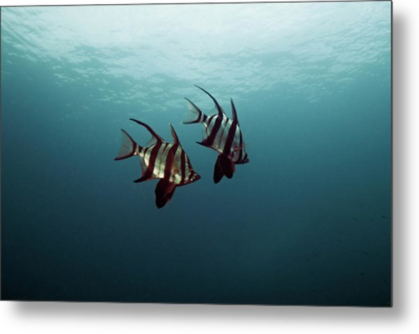 Couple Of Fish Metal Print by Underwater Graphics