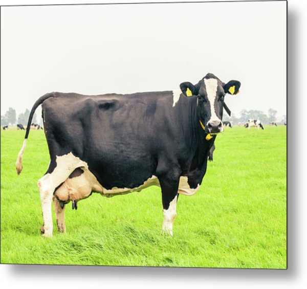 Cow To Pasture Metal Print