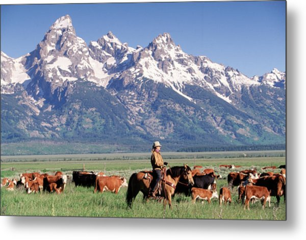 Cowboy Tending Cattle On Ranch, Wy Metal Print