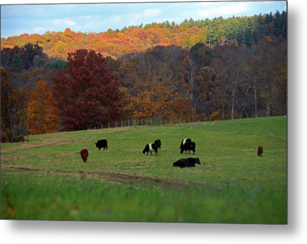 Metal Print featuring the photograph Cows Grazing On A Fall Day by Angela Murdock