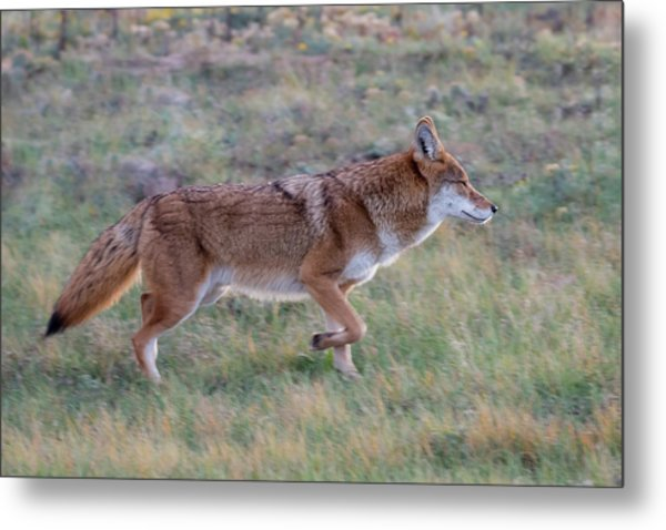 Coyote Portrait Metal Print