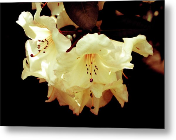 Creamy Rhododendron Metal Print