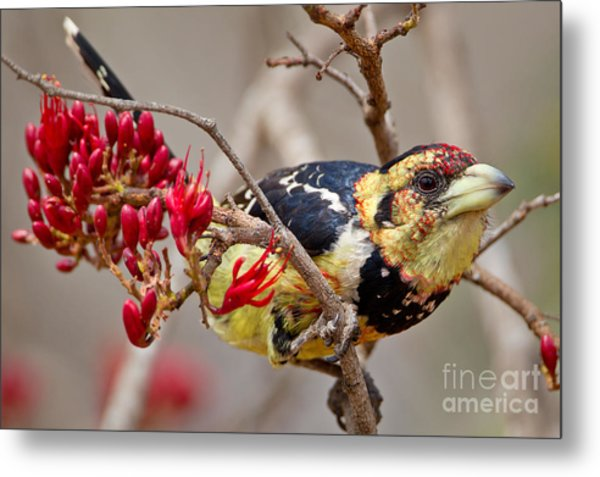 Crested Barbet, South Africa Metal Print