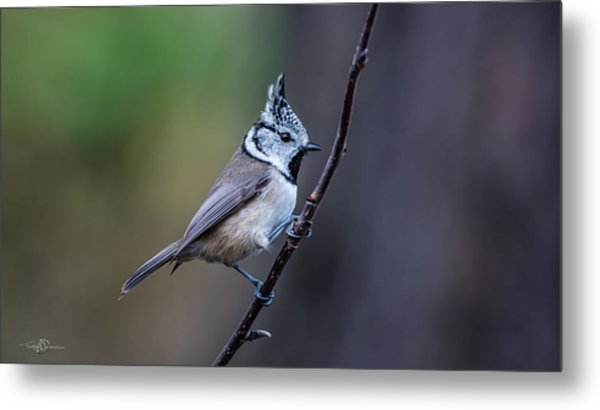 Crested Tit On A Twig Metal Print