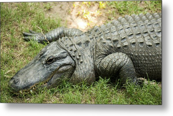 Metal Print featuring the photograph Crocodile Outside by Rob D