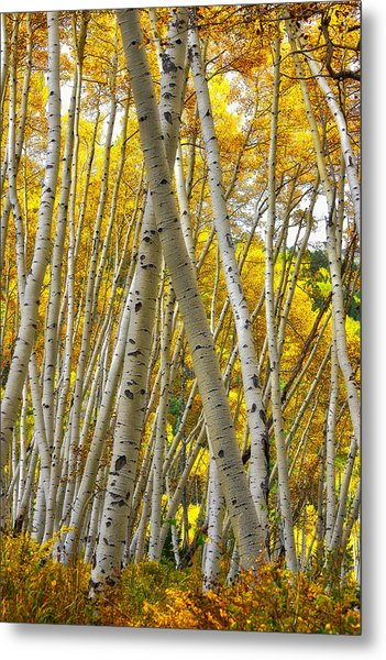 Crossed Aspens Metal Print