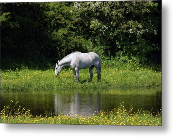 Cumbria. Ulverston. Horse By The Canal Metal Print