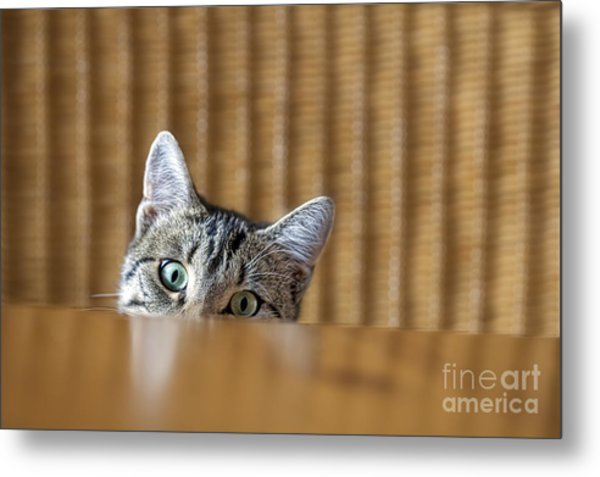 Curious Young Kitten Looking Over A Metal Print