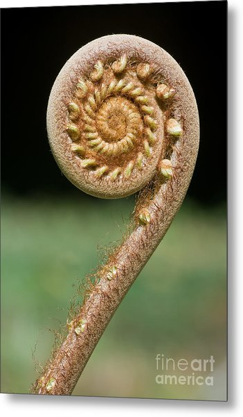 Curled Young Fern Metal Print