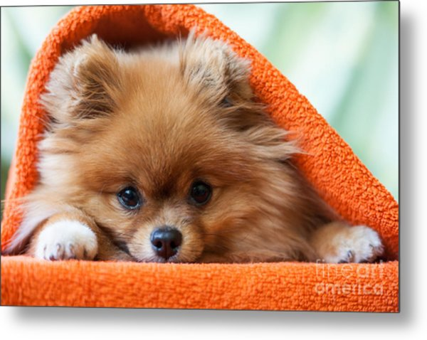 Cute And Funny Puppy Pomeranian Smiling Metal Print by Barinovalena