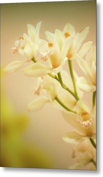 Cymbidium Orchid In Bloom Metal Print