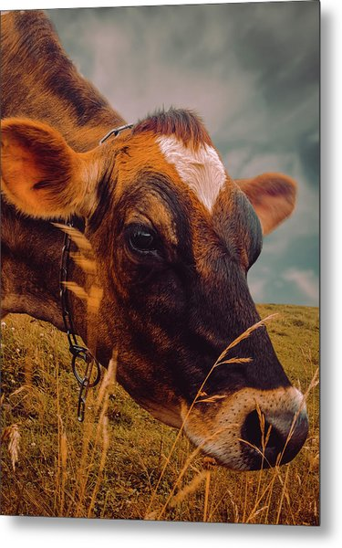 Dairy Cow Eating Grass Metal Print