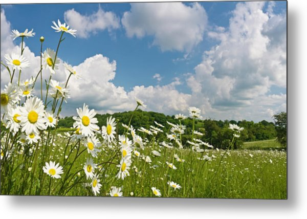Daisy Meadow Summer Pastoral Metal Print by Fotovoyager