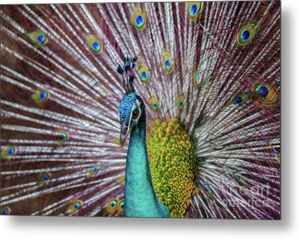 Dancing Indian Peacock  Metal Print