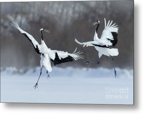 Dancing Pair Of Red-crowned Cranes With Metal Print