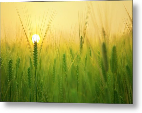 Dawn At The Wheat Field Metal Print