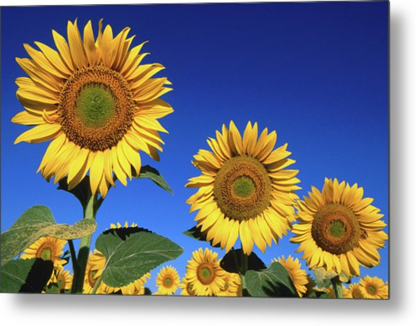 Detail Of Sunflowers, Tuscany, Italy Metal Print by John Elk Iii