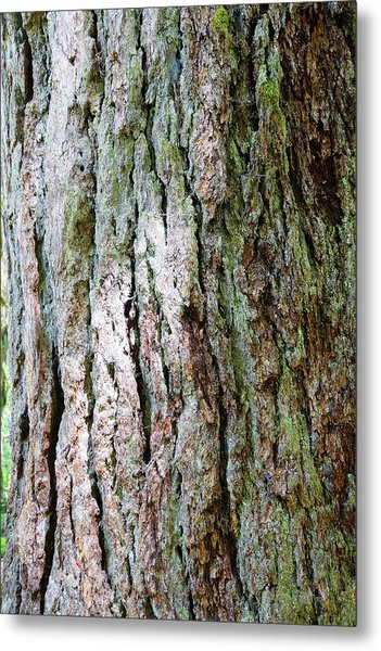 Details, Old Growth Western Redcedars Metal Print