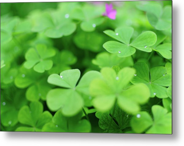 Dew Drops In Clover Field In Provence Metal Print