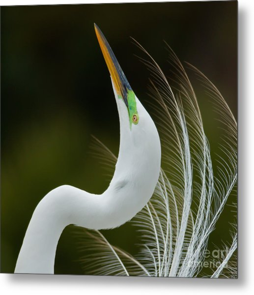 Displaying Great Egret, Kissimmee Metal Print