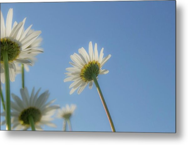 Distracted Daisies Metal Print