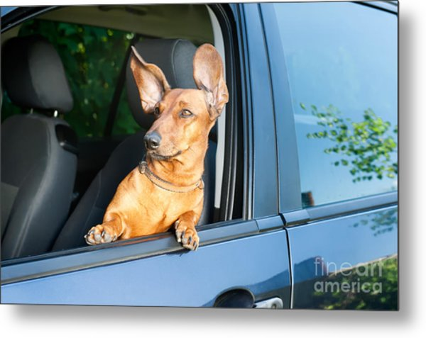 Dog Travel By Car Looking Out Of The Metal Print