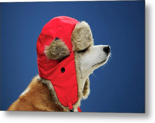 Dog Wearing His Winter Hat Metal Print