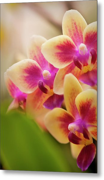 Doritaenopsis Orchid Blooms Metal Print