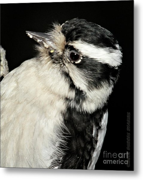 Downy Woodpecker Female Metal Print