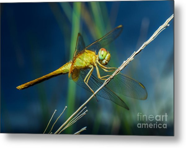Dragonflies, Insects, Animals, Nature Metal Print