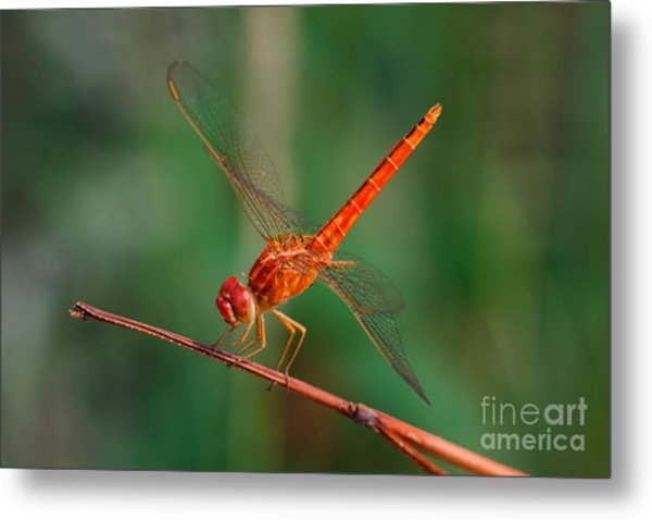 Dragonfly, Macro Dragonfly, Dragonfly Metal Print