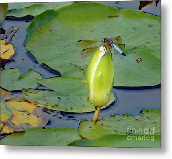 Dragonfly On Liliy Bud Metal Print