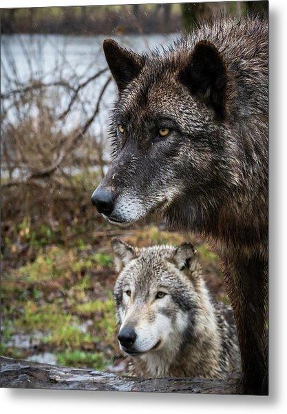 Dual Wolves Metal Print