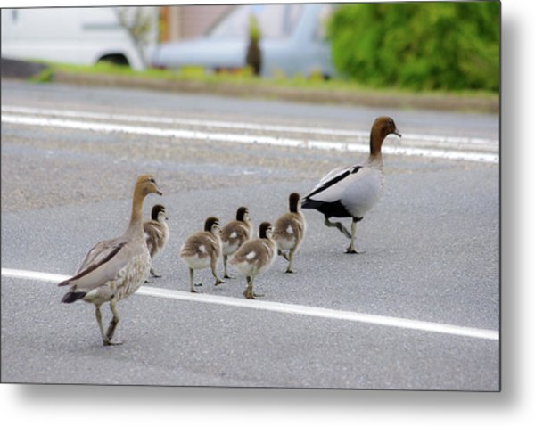 Duck Family Crossing The Road Metal Print by Photo By Tse Hon Ning
