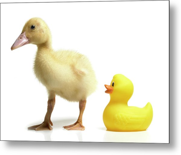 Duckling And Rubber Duck Metal Print by Fuse