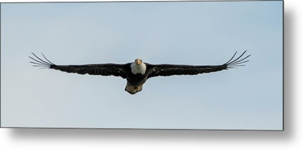 Eagle Flying At You Metal Print