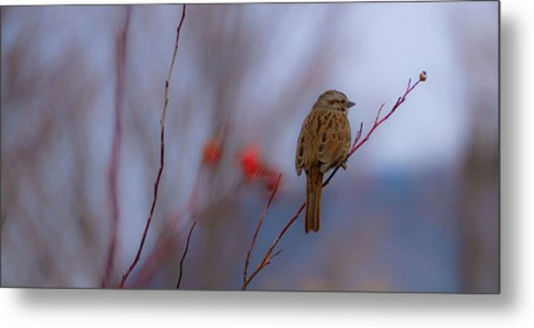 Early Spring Sparrow Metal Print