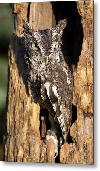 Eastern Screech Owl 92515 Metal Print