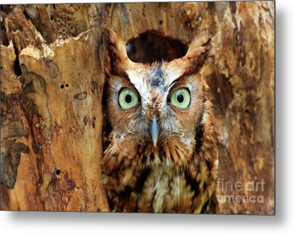 Eastern Screech Owl Perched In A Hole In A Tree Metal Print