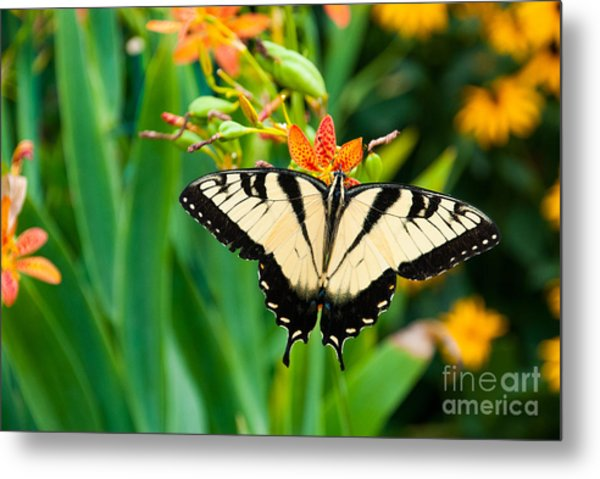 Eastern Tiger Swallowtail Butterfly In Metal Print