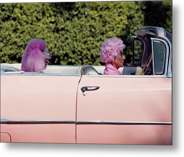 Elderly Woman And Pink Poodle In Pink Metal Print by Tim Macpherson