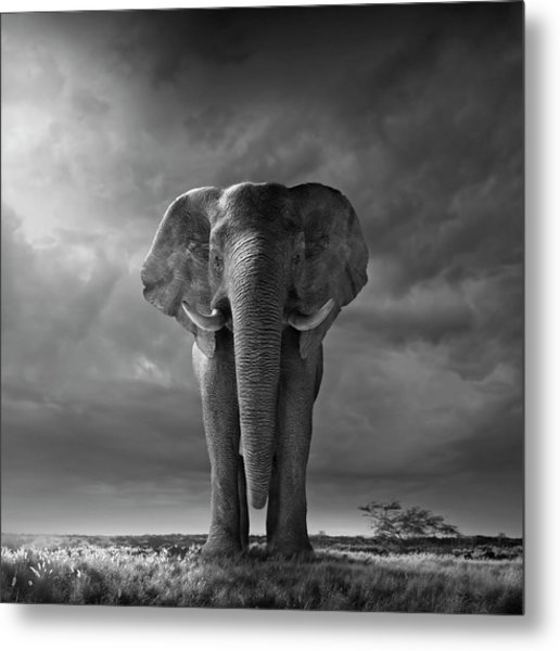 Elephant Walking In Grassy Field Metal Print