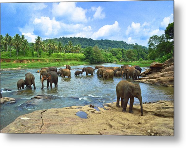 Elephants Bathing In River Metal Print by Imagebook/theekshana Kumara