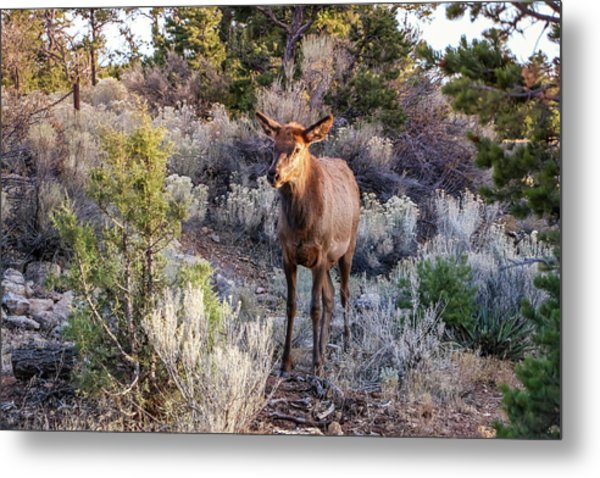 Metal Print featuring the photograph Elk Cow 2, Grand Canyon by Dawn Richards